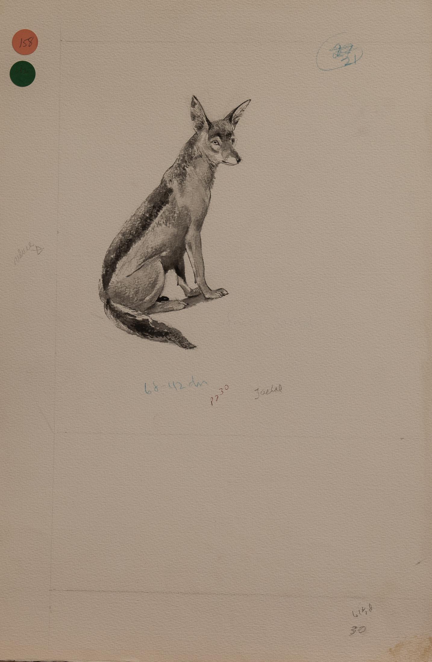 jackal (1 of 1)