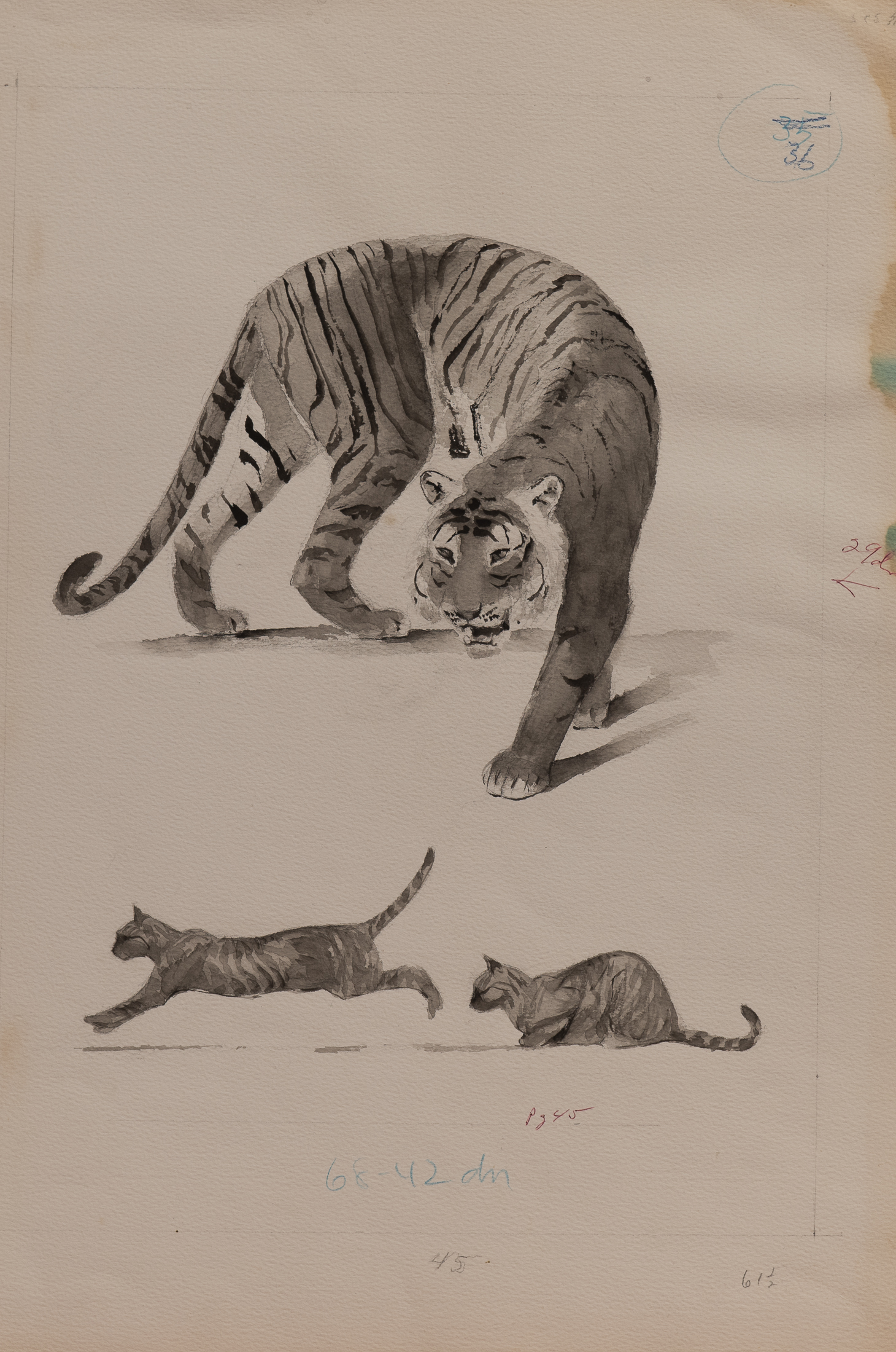 tiger (1 of 1)